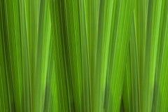 Ausführliche Ansicht der Maisblattbeschaffenheit stockfotos