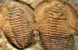 Ausführliche Ansicht von versteinerten trilobites stockfotografie
