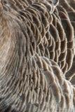 Ausführliche Beschaffenheit der Graugansgänsefedern Stockbild