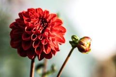 Ausführliche vektorzeichnung Blume der Dahlie Lizenzfreie Stockbilder