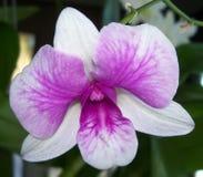 Ausführlicher Blick auf das empfindliche Gesicht der zweifarbigen purpurroten und weißen Orchidee Stockbilder