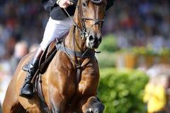 Ausführliches Foto eines braunen Pferds, das dem Sprung, schießend von der Front sich nähert Stockfoto
