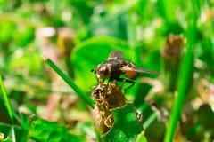 Ausführliches Makro der großen Fliege sitzend im Gras stockbild
