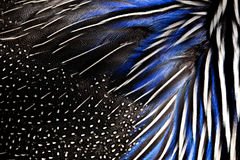 Ausführliche Beschaffenheit von weißen und blauen Fasanfedern Hintergrund und Beschaffenheit Stockfotos