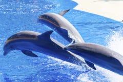 Ausgebildete Delphine, die in Wasserparkpool springen Stockbild