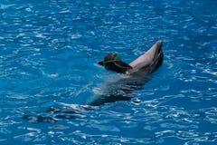 Ausgebildeter Delphin im Aquarium, dolphinariums Stellen Sie mit Delphinen dar Delphin, der mit einem Ball spielt der Trainer arb lizenzfreies stockbild