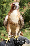 Ausgebildeter Falke, der auf dem Handschuh des Falkners sitzt Lizenzfreie Stockfotos