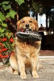 Ausgebildeter goldener Apportierhund mit einer Matte in den Zähnen Stockbild