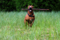 Ausgebildeter Hund Stockfotos