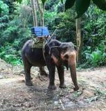Ausgebildeter thailändischer Elefant Lizenzfreies Stockbild