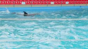 Ausgebildetes Delphin-Schwimmen im Pool stock video