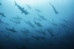 Ausgebogte Hammerhaie lizenzfreie stockbilder