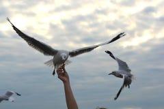 Ausgebreitete Flügel der Seemöwe, die fliegen, um Knistern von der Handfütterung zu essen stockbild