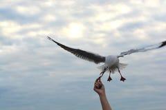 Ausgebreitete Flügel der Seemöwe, die fliegen, um Knistern von der Handfütterung zu essen stockfotos