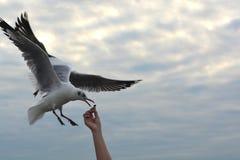 Ausgebreitete Flügel der Seemöwe, die fliegen, um Knistern zu essen lizenzfreie stockbilder