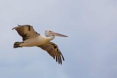 Ausgebreitete Flügel des australischen Pelikans im Flug Lizenzfreie Stockfotos