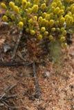 Ausgebreitete Schalenblume Stockfotografie