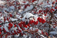 Ausgebreiteter Cotoneaster am Winter mit Schnee stockfoto