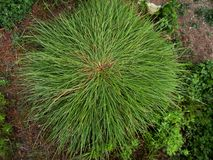 Ausgebreitetes b?scheliges Gras im Boden stockfotos