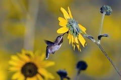 Ausgedehnt-angebundener Kolibri, Selasphorus platycercus Lizenzfreie Stockfotos