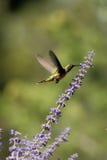 Ausgedehnt-angebundener Kolibri, Selasphorus platycercus Lizenzfreies Stockfoto