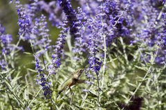 Ausgedehnt-angebundener Kolibri, Selasphorus platycercus lizenzfreie stockbilder