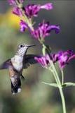 Ausgedehnt-angebundener Kolibri, Selasphorus platycercus stockbild