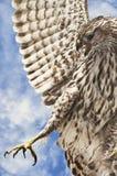 Ausgedehnt-winged Falke Stockfotos