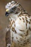 Ausgedehnt-winged Falke Stockfoto