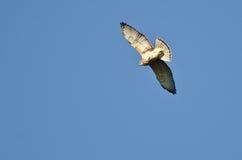 Ausgedehnt-Winged Falke auf dem Flügel lizenzfreie stockfotografie