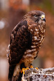 Ausgedehnt-winged Falke auf Stumpf lizenzfreies stockbild