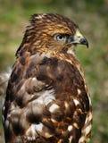 Ausgedehnt-winged Falke mit gekräuselten Federn stockbild