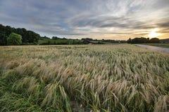 Ausgedehnte Schweizer Korn-Felder Stockfoto