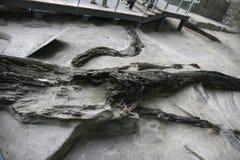 Ausgegrabenes Ebenholz auf Zeigung im Museum, Chengdu, Porzellan Lizenzfreie Stockfotografie