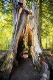 Ausgehöhlter Baum im Kiefernwald stockfotografie