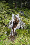 Ausgehöhlter-heraus, verwitterter Baumstamm Stockbild