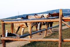 Ausgerüstete Pferde für Reiten Stockfotos