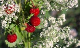 Ausgereifte Erdbeeren des Sommers Stockfoto