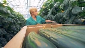 Ausgereifte Gurken erhalten sich setzten in Kartonkästen durch einen Grünangestellten Modernes Landwirtschaftskonzept stock video