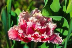Ausgesaugte Tulpen blühten im Garten im Vorfrühling Stockbilder