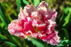 Ausgesaugte Tulpen blühten im Garten im Vorfrühling Stockfoto