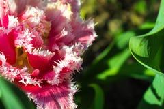 Ausgesaugte Tulpen blühten im Garten im Vorfrühling Lizenzfreie Stockfotos