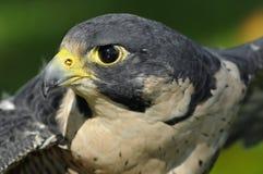 Ausgestreckter Flügel-ausländischer Falke stockfoto