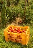 Ausgewählte Tomaten in einem Plastik-trey im Garten lizenzfreies stockbild
