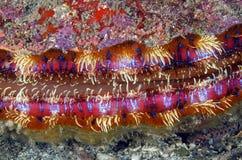 Ausgezeichnete Kamm-Muschel, Galapagos lizenzfreie stockbilder