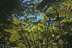 Ausgezeichneter Farnwald, Hawaii lizenzfreie stockfotografie