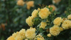 Ausgezeichneter gelber Rosenbusch im Garten stock video