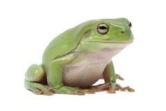 Ausgezeichneter grüner Baumfrosch, Litoria splendida Stockbild