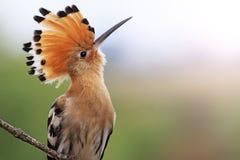 Ausgezeichneter Vogel mit sonnigem Krisenherd der Knalle Stockfoto