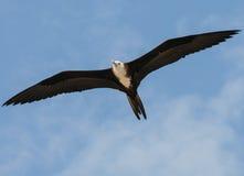 Ausgezeichnetes frigatebird Stockbild